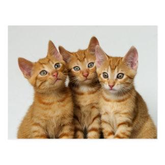 Tres gatitos lindos del jengibre de lado a lado postal