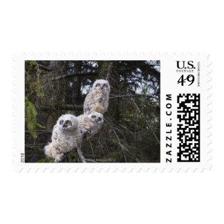 Tres grandes polluelos del búho de cuernos (bubón timbres postales