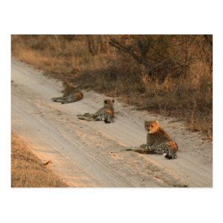 Tres guepardos en el camino de tierra en la salida tarjetas postales