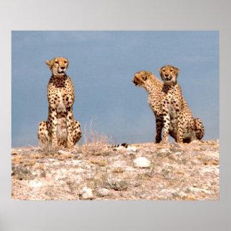 Tres guepardos poster