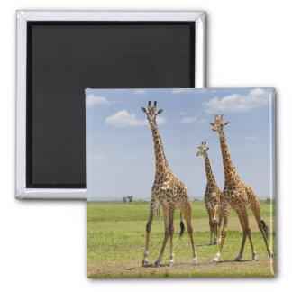 tres jirafas del Masai, camelopardalis del Giraffa Imán Cuadrado
