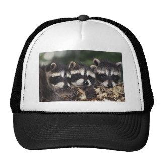 Tres mapaches jovenes gorras