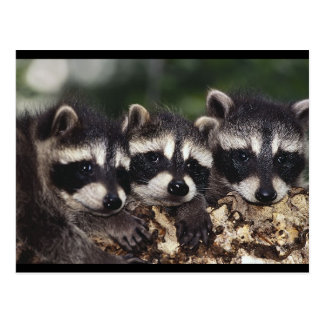 Tres mapaches jovenes tarjeta postal