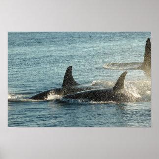Tres orcas en la puesta del sol póster