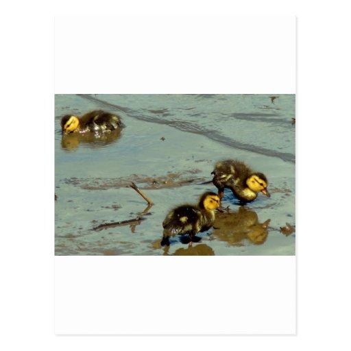 Tres patos silvestres del bebé… tarjeta postal