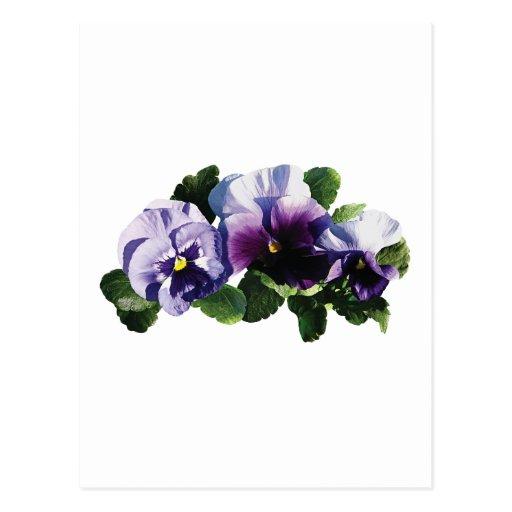 Tres pensamientos púrpuras tarjeta postal