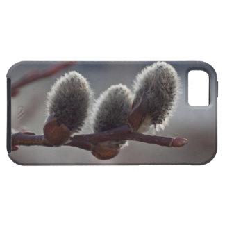 Tres pequeños Catkins iPhone 5 Fundas