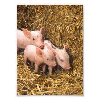 Tres pequeños cerdos fotografía