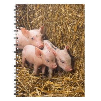 Tres pequeños cerdos libretas