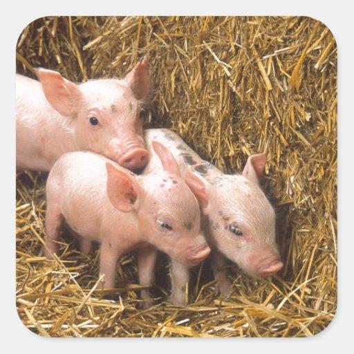 Tres pequeños cerdos pegatina cuadrada