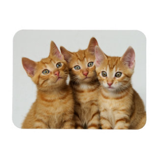 Tres pequeños gatitos tabby rojo de lado a lado imán