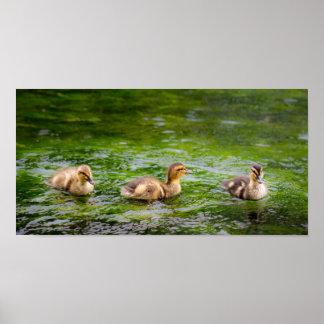 Tres pequeños patos de los anadones posters