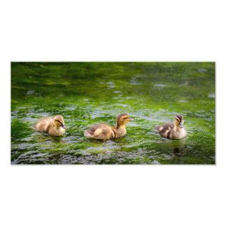 Tres pequeños patos de los anadones impresion fotografica