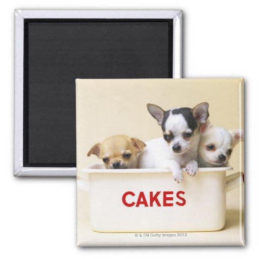 Tres perritos de la chihuahua en lata de la torta imán cuadrado