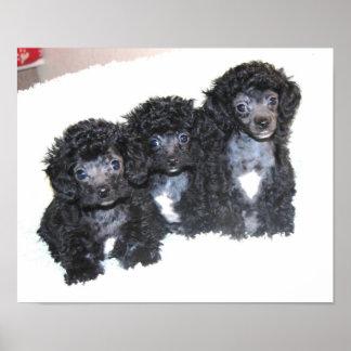 Tres perritos negros del caniche de juguete impresiones