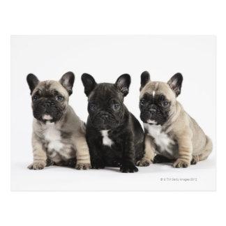 Tres perritos pedigríes postal