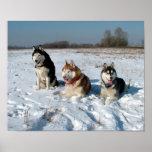 Tres perros interesantes del Malamute Impresiones