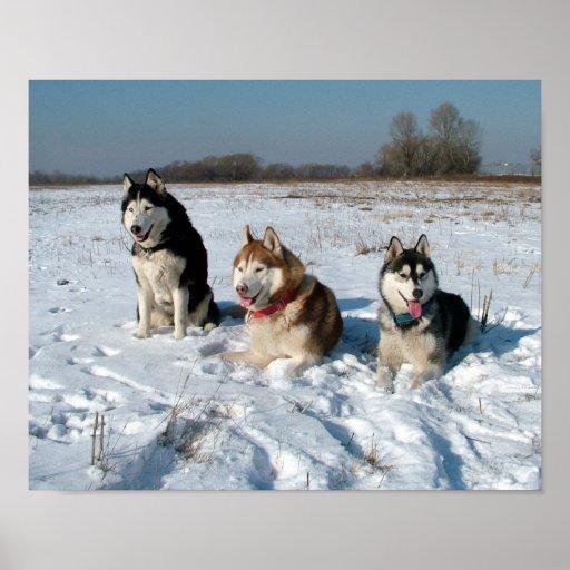 Tres perros interesantes del Malamute Poster