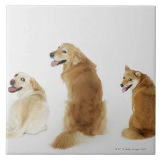 Tres perros que miran la cámara azulejo cuadrado grande