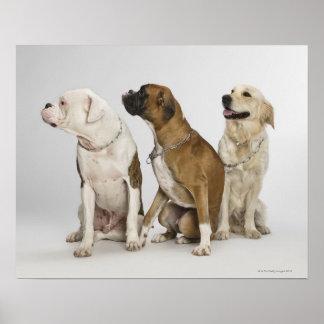 tres perros que miran todo a la derecha impresiones