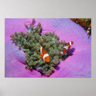 Tres pescados del payaso en la anémona de mar, mar póster