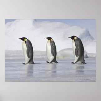 Tres pingüinos de emperador, isla de la colina de  póster