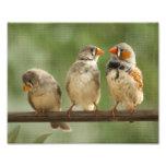 Tres pinzones en una ramita fotografía