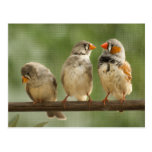 Tres pinzones en una ramita tarjetas postales
