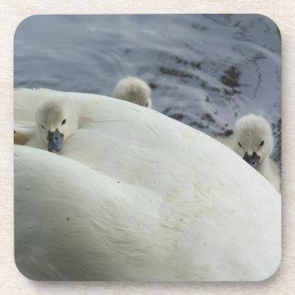 tres pollos del cisne con la madre posavasos