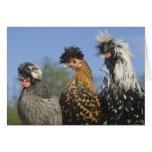Tres pollos polacos enrrollados - pájaros divertid felicitaciones