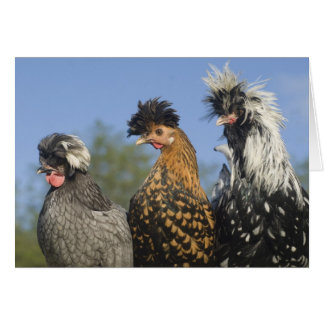 Tres pollos polacos enrrollados - pájaros tarjeta de felicitación
