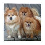 Tres Pomeranians Teja