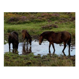 Tres potros de Dartmoor que beben en el agujero de Postal