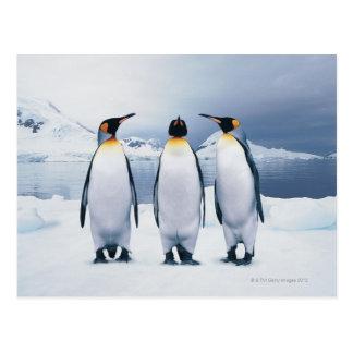 Tres rey pingüinos postal