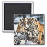 Tres tigre Cubs en regalos del arte de la nieve Imán De Frigorifico