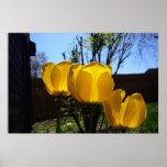 Tres tulipanes amarillos impresiones