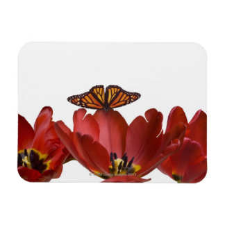 Tres tulipanes rojos y una mariposa de monarca con iman