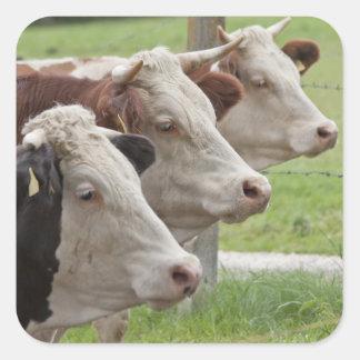 Tres vacas en pegatinas de una fila pegatina cuadrada