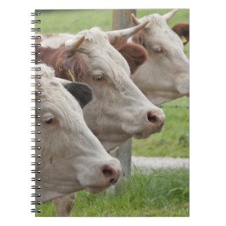 Tres vacas en un cuaderno de la fila