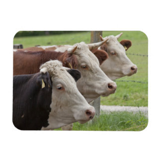 Tres vacas en una fila iman