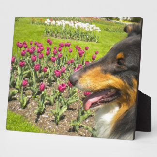 Tri Collie N the Tulips Photo Plaque