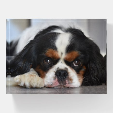 Tri Color Cavalier King Charles Spaniel Paperweight
