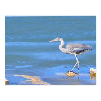 Tri-color Heron Postcard
