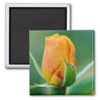 Tri-Color Rosebud: Peach Hints of Red & Yellow 2 Inch Square Magnet