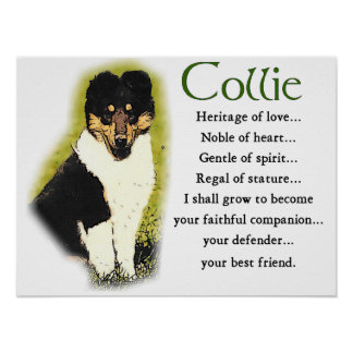 Tri Color Rough Collie Gifts Poster