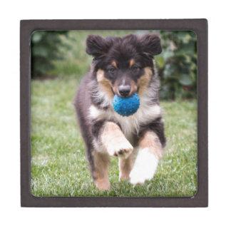 Tri Colored Australian Shepherd Pup Gift Box