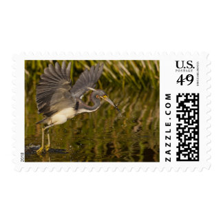 Tri-colored heron capturing lunch stamp