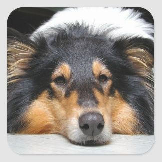 Tri pegatina hermoso del perro del collie del