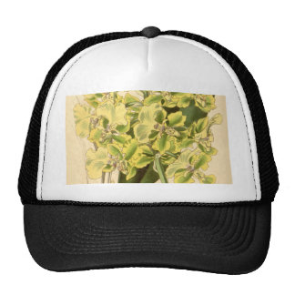 Trichocentrum bicallosum (as Oncidium bicallosum) Trucker Hat