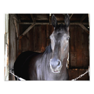 Trick Phone, a 2 year old Colt Photo Print